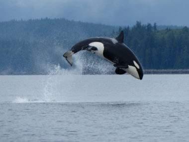 Whale Watching - Credit Destination BC & Garry Henkel
